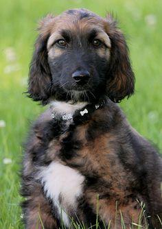 afgaanse windhond - puppy .