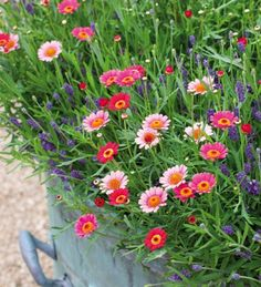 Argyranthemum look wonderful calmed down by the background of the highly fragrant, compact and perfect for pots, Lavender 'Hidcote Blue'.