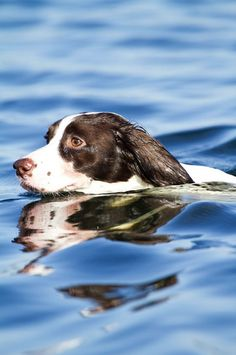 English Springer Spaniel ~ Classic Look Springer Spaniel Puppies, English Springer Spaniel, Spaniel Dog, Spaniels, I Love Dogs, All Dogs, Cute Dogs, Dogs And Puppies, Doggies