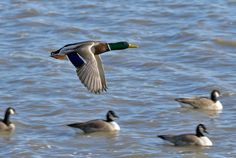 Offseason Tips for Improving Duck Hunting Success