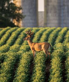 Whitetail Hunting Tips: How to Hunt a Barnyard Buck- http://www.waldenfarmandranch.com/ now has Texas Hunter Products at our Mineral Wells store! Come visit us for all your hunting needs!