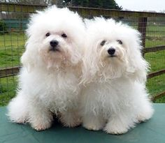We have suspected that the happiest bologonese dogs are usually the doggos 🐩 with the best parents. Maltese Dogs, Dogs And Puppies, Teacup Maltese, Bichon Bolognese, Bolognese Puppies, Family Friendly Dogs, White Dogs, Shelter Dogs, Dog Pictures