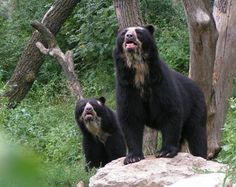 what do you see mom? - spectacled bear with baby