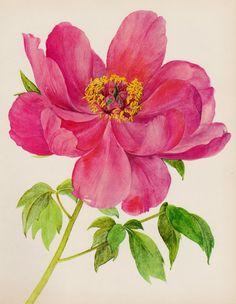 Romantic Peony Print Pink Flower Art Botanical Print Pink Flower Gallery Wall Art Home Library Decor  Shrub 2192