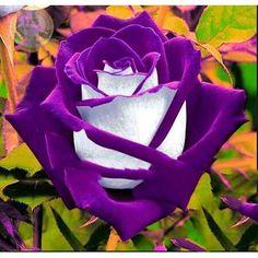 seeds of perennial garden flowers BLooming Plant semillas de flores raras Rare Roses, Rare Flowers, Exotic Flowers, Amazing Flowers, Beautiful Roses, Pretty Flowers, Unique Flowers, Colorful Roses, Flowers Drawn