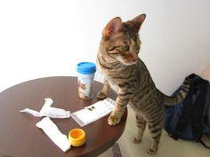 Cat Cafe in Nagoya! Cat Cafe, Nagoya, Dog Cat, Japan, Cats, Gatos, Kitty, Serval Cats, Cat