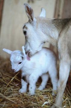 1 hour year old Nigerian Dwarf goat with momma.