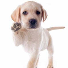 High-fives from this adorable pup. #LabradorRetriever #puppypictures