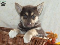 If you are considering getting a puppy, considering getting one from one of the top breeders we list. Check it out! You may find your new best friend. Cute Baby Animals, Animals And Pets, Funny Animals, Cute Puppies, Cute Dogs, Dogs And Puppies, Doggies, Greenfield Puppies, Cute Animal Pictures
