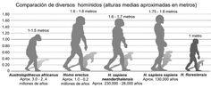 Gráfica de como el ser humano evoluciona y muestra sus alturas.