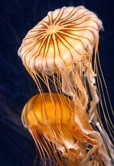 ✯ Astonishing Beauty of Jellyfish! The Lady Gaga of the underwater world. Underwater Creatures, Underwater Life, Ocean Creatures, Under The Water, Life Under The Sea, Vida Animal, Beautiful Sea Creatures, Beneath The Sea, Sea Slug
