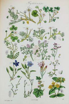 Antique Botanical Hand Colored Engravings Violets Set of 2
