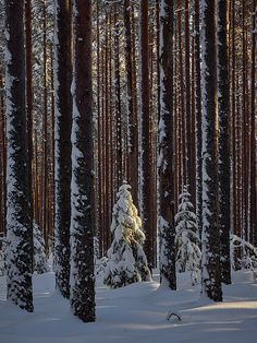 When the Light Falls by Jouko Lehto Snow Forest, Underground Homes, In The Tree, Frost, National Parks, Mountain, Trees, Wall Art, Lighting