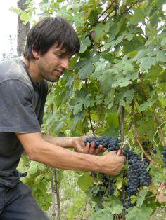 Working for a good Harvest  Tacchino Raffaele Vini www.tacchinovino.com