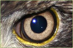 Eagle eye drawings   Eyesight - An eagle's eye is almost as large as a human's, but its ...
