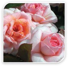 Belle du Seigneur™ Delocabri / Ludwigs The Midlands Rose