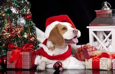 We provide first-class quality pet boarding for dogs and cats in Yarrambat and Closest to Doreen, Diamond Creek, Eltham, Doncaster, Templestowe and Melbourne northern suburbs Christmas Animals, Christmas Dog, Merry Christmas, Pet Boarding, Comfort And Joy, Animal Facts, Dog Gifts, Mans Best Friend, Dog Pictures