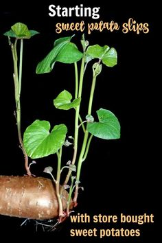 Potatoes from the grocery store can be used to start sweet potato slips. These rooted sprouts can be used to grow new sweet potato plants #vegetablegardening #sweetpotatoes #sweetpotatoslips