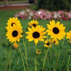 Sunny Babe Sunflower Seeds- 4-5ft tall- 35 seeds- $3.50