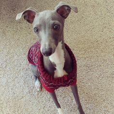 Whoooohoooo @Sofia_zita is home from grandma's 13 days later #italiangreyhound #dogsofinstagrsm