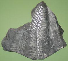 Alethopteris