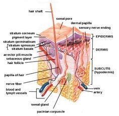 Anatomy of Skin...