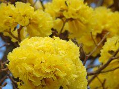 Tabebuia Aurea - Cây chuông vàng