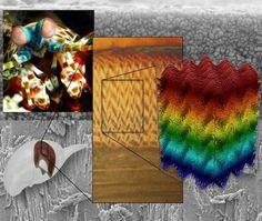 Las tenazas del colorido camarón mantis tienen un diseño secreto ultra poderoso