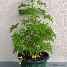 Citronella: Effective Insect Repellent or Consumer Hoax? http://www.thehealthyhomeeconomist.com/citronella-insect-repellent/