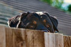 "Rottweiler  Haaaa looks like ""Wilson"" from home improvement!"
