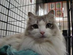Fritz is an adoptable Ragdoll Cat in Overland Park, KS. Hello, I am Fritz, Welcome to Purrfect Pets cat adoptions. We are located inside the Metcalf South Shopping Center at 95th and Metcalf in Overla...