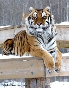 Griffen, a Bengal yiger at WildcatSanctuary. Tiger Pictures, Animal Pictures, Beautiful Cats, Animals Beautiful, Tiger Fotografie, Panthera Tigris Altaica, Chat Lion, Animals And Pets, Cute Animals