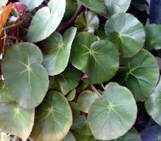 View picture of Pennywort Begonia, Miniature Pond Lily (Begonia hydrocotylifolia) at Dave's Garden.  All pictures are contributed by our community.