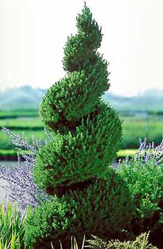 topiary with dwarf Alberta Spruce (Picea glauca 'Conica (spiral)') at Connon Nurseries CBV Topiary Garden, Topiary Trees, Garden Shrubs, Pruning Shrubs, Outdoor Landscaping, Front Yard Landscaping, Outdoor Gardens, Landscaping Ideas, Dwarf Trees For Landscaping