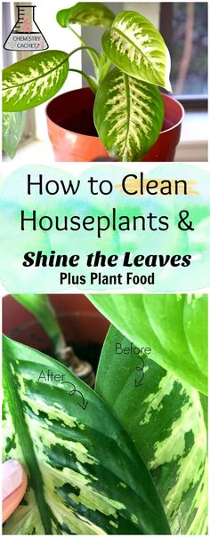 to Clean Indoor Houseplants and Shine the Leaves! Plus Plant Food Tips The best way to clean houseplants plus shine plant leaves. Tips on easy plant food too! Get the tuturial on how to clean houseplants on Shine Shine may refer to: Outdoor Plants, Garden Plants, Indoor Plant Decor, Water Plants Indoor, Best Indoor Plants, Air Plants, Organic Gardening, Gardening Tips, Indoor Gardening
