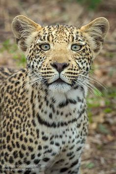 A curious young male male leopard at Sandibe Camp, Okavango Delta       Photo by Grant Atkinson