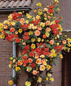 Climbing Joseph's Coat Rose - Just bought one of these yesterday and plan to go back and buy a few more :) Great for walls, fences, arbors and trellis.