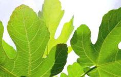 Fig Leaf Tea Health Benefits helps with lowering blood pressure and lowers glucose in blood
