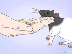 So you have your rat, but he/she is very shy. I will teach you how to bond with your pet rats, and show you some great activities you can do with them.