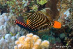 Orangestripe Triggerfish, Balistapus undulatus