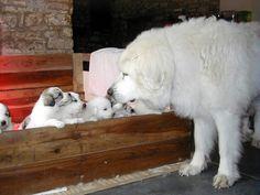 Pyrenean Mountain Dog | Papa checking on his pups