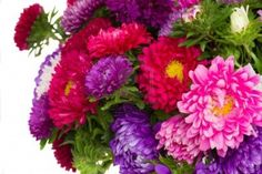 FLOWER OF THE MONTH OF SEPTEMBER- ASTER:  Asters is also the herb of the goddess Venus. Ancient people believed that the odour of the leaves of the aster, when burnt, drove away serpents. Asters were laid on the graves of French soldiers to symbolize afterthought & the wish that things had turned out differently. One myth tells that asters were created from stardust when Virgo looked down from the heavens & wept. The poet Virgil holds that the altars of the gods were often adorned with…