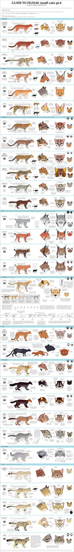 Guide to felinae (small cats), pt. 4 by Majnouna | #cat #gato #crazycatlady #ilustração #illustration #felinos #bigcats #mothernature #mãenatureza