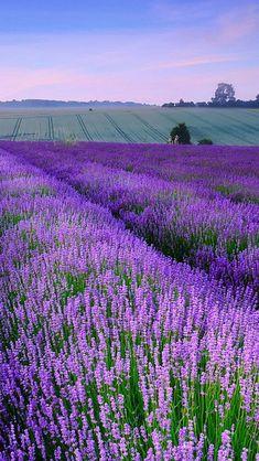 England, idyllic manor, lavender #LavenderFields