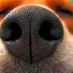 Se o focinho do seu cão estiver seco e quente, fique atento aos sinais. A saúde dele pode estar em risco