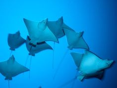 """SPOTTED EAGLE RAYS ~~ A school of spotted eagle rays glides gracefully through the Maldives. The rays are often seen gathering in groups near the surface, """"flying"""" through the water by flapping their pectoral fins and sometimes even leaping porpoise-like into the air. The ray's dorsal side is covered with a signature pattern of vivid spots."""