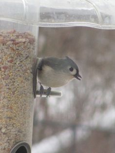 Backyard birds, Tufted Titmouse