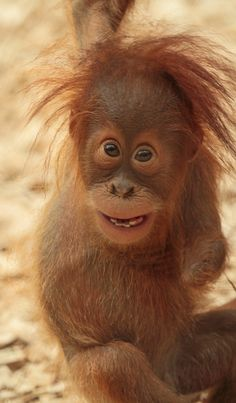 Adorable and Cute Yenko, the Baby Orangutan at Dortmund Zoo, Germany