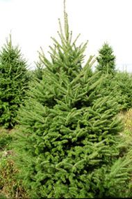 Christmas Trees | Balsam Fir | Jones Family Farms | Shelton, CT