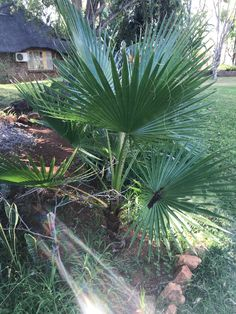 Copyright By Nkahloleng Eric Mohlala Copyright ©️ 2021 By Eric Nkahloleng Mohlala, www.mohlalaads.co.za Brother From Another Mother, Fan Palm, Palm Plant, Big Family, Running Away, Gardening, History, Plants, Historia